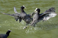 Coot Fight | by Marrrcelll