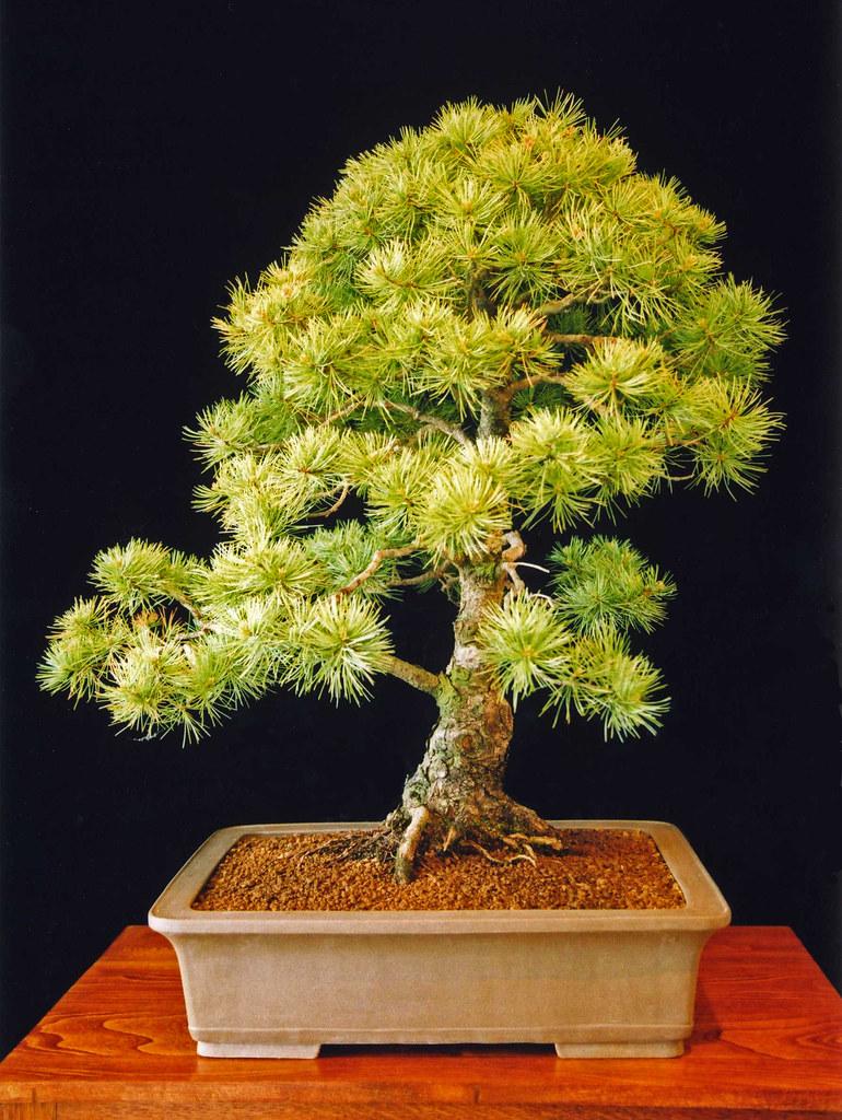 Japanese White Pine Bonsai Tree Pinus Parviflora Japanese Flickr