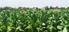 tobacco rows | by florence_craye