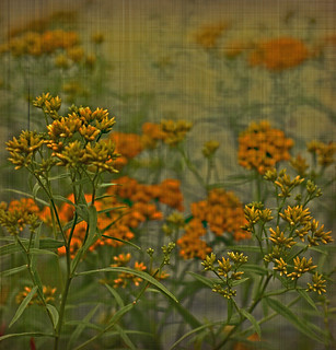 Goldenrod | by mbgrigby