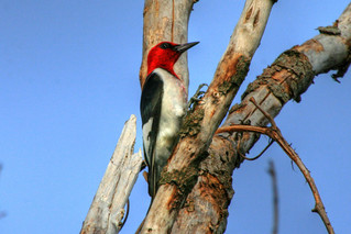 Red-headed Woodpecker {Melanerpes erythrocephalus} | by Birdfreak.com