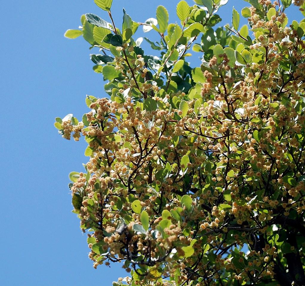 Cercocarpus Betuloides Var Blancheae Catalina Mountain Flickr