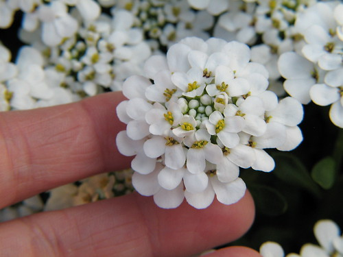 Evergreen candytuft (Iberis sempervirens)