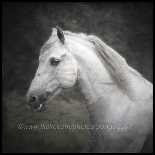 I am a Lusitano from Portugal | by pongo 2007