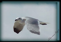 ~sea gull~ | by itsjustme1340-Ress