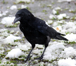 Come on Mr..have pity on a poor cold crow...:O) | by law_keven