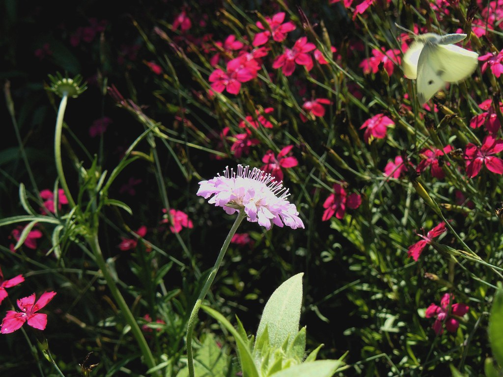 Pincushion Flower And Cabbage White Goosiegander Keeping In
