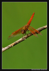 Dragon Fly | by SShashank
