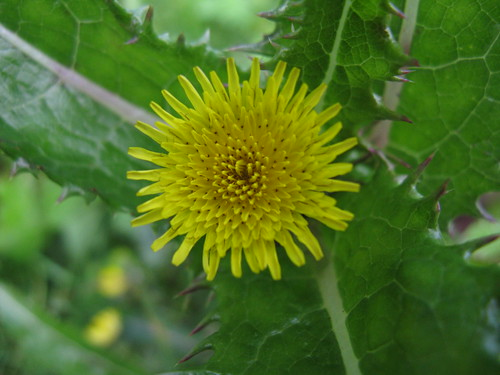 Rough Sow-thistle