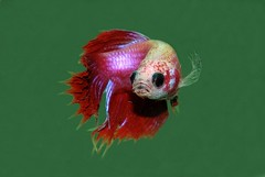 Betta (female) | by hrishikesh Chandanpurkar