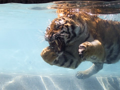 Tiger snacking underwater | by david.nikonvscanon