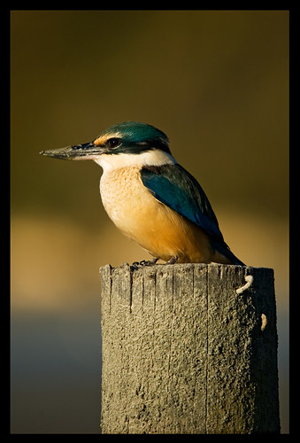 Kingfisher | by Froghorn Leghorn
