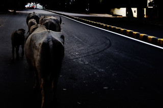 buffaloes on the road | by mudeth