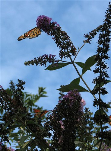 Monarch in the Library's Garden | by Riverhead Free Library