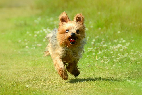Two Legged Amy The Yorkie .... On Rabbit Hunting Duties | by TopSausageLobber