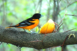 Baltimore Oriel Head out of orange | by Young Naturalist J