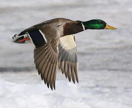Mallard Duck Flight Robert Grove Flickr