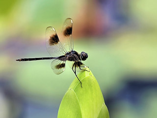 Dragonfly (Four-spotted Pennant)  maybe?? | by gwburke2001