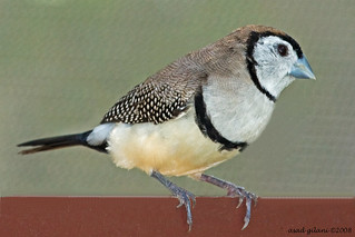 owl finch | by iCamPix.Net