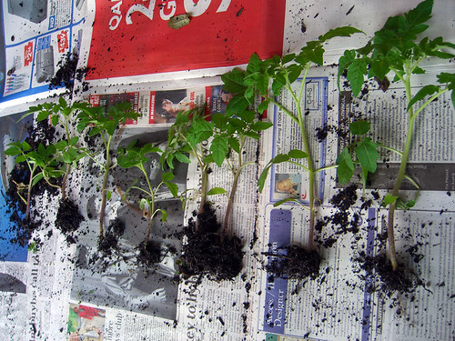 Eight little tomato plants | by Spin Spin