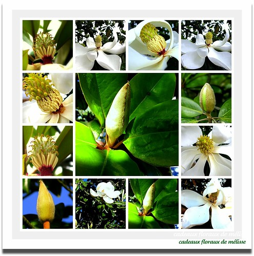 Sweetest smell of spring in the South: magnolias | by The Gifted Photographer
