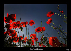 Guest in Poppyland | by rusmi