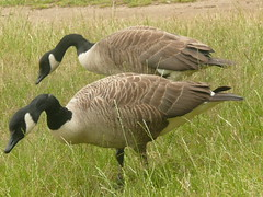 A Pair Of Canada Geese In Richmond Park London | by john47kent