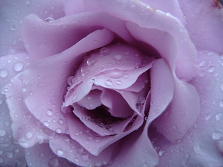 raindrops on roses... | by louisa_catlover