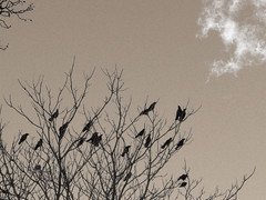 Crows in winter tree. | by Drew Makepeace