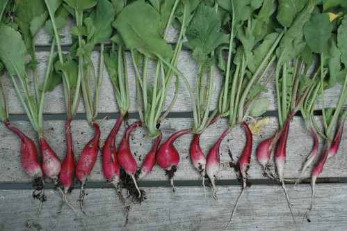 French Breakfast Radish Harvest | by The Food Section
