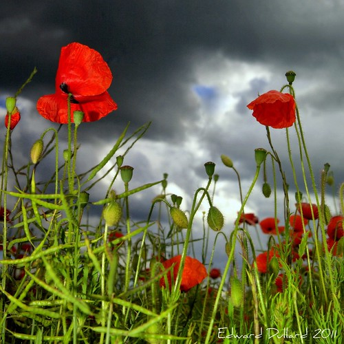 POPPIES BENEATH A STORMY SKY. | by Edward Dullard Photography. Kilkenny, Ireland.