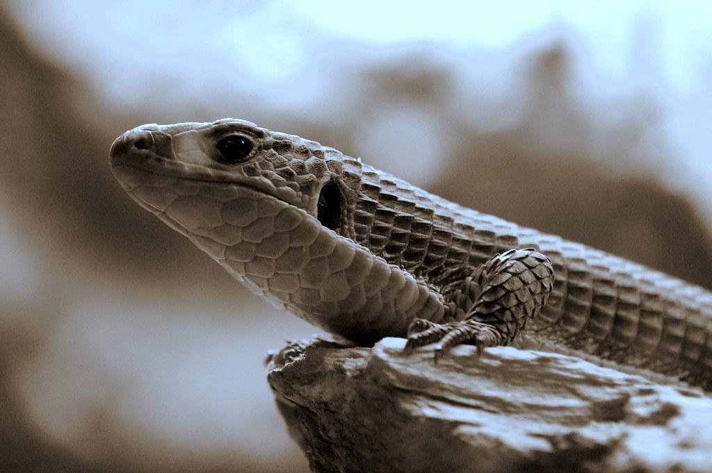 celebration of the lizard