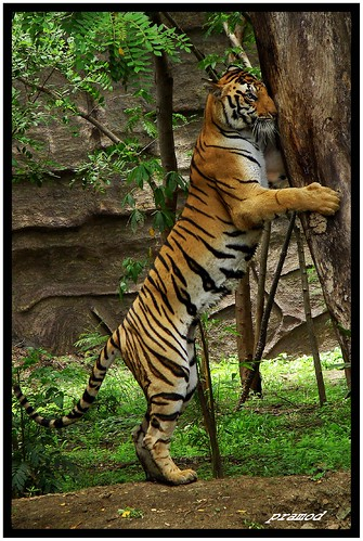 TIGER | by PRAMOD SUMANT
