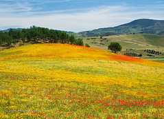 Wild Flowers of Andalusia | by . Andrew Dunn .