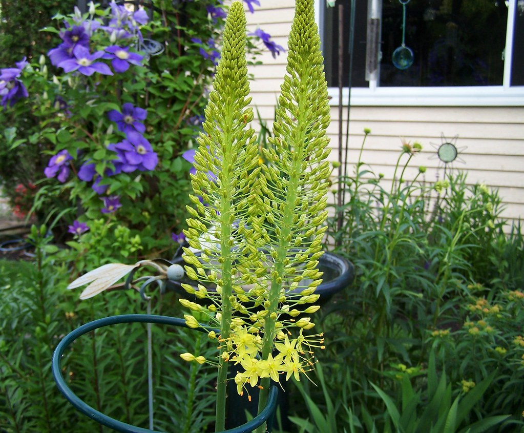 Foxtail Lily Bought These Bulbs Last Year At The Chicago B Flickr