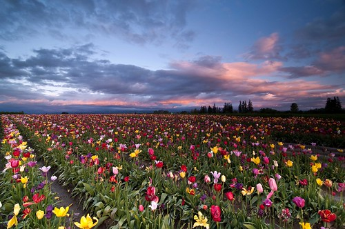 Tulips and Clouds | by Wandering Sagebrush