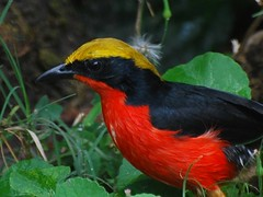 Yellow-Crowned Gonolek | by jvverde