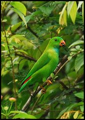 Indian Hanging Parrot | by C Fotografia