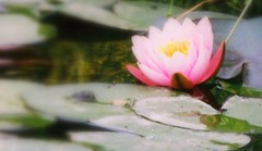 Dreamy Waterlily | by rosewoodoil