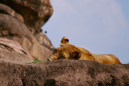 AK Napping Lioness | by janeswalden