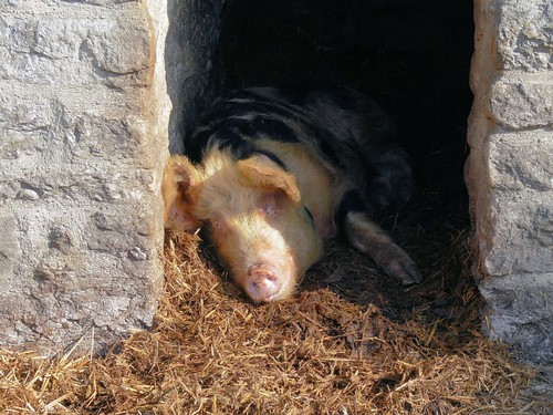 Contented pig | by Chris Morriss