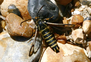 Six-belted Clearwing (Glyne Gap, East Sussex) | by three.cubes