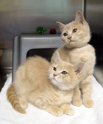 Aster & Azalea, Buff Sister Kittens ~ EXPLORED | by Pixel Packing Mama ~ 25 Million Views