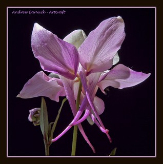 Aquilegia, thank you for over 900 views and 400 comments | by natworld50 thanks for + 1.6 million views