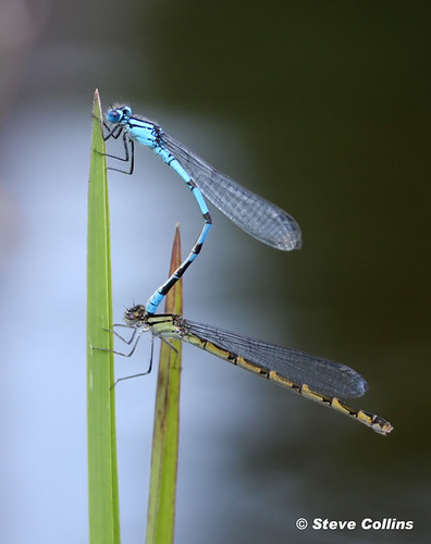 Northern Bluet (Enallagma annexum) | by Odephoto