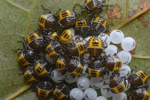 Harlequin cabbage bugs hatch | by linden.g