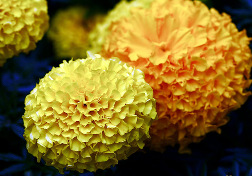 Bruce's marigolds | by Muffet