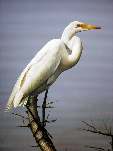 Painting of a great white egret perched on a maple branch for White heron paint