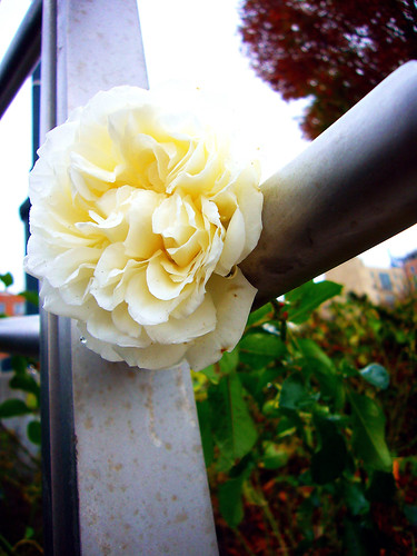 NYC Parks ~ A White Rose | by TigerCoin