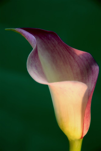 Calla lilly - Orton effect | by anna.creedon